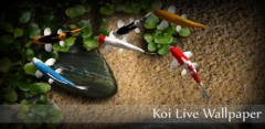 Koi Live Wallpaper
